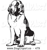 Vector Clip Art of a Large St Bernard Canine Dog Spanting and Sitting, Looking off to the Right, on a White Background by David Rey